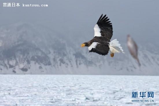 (国际)(1)流冰上的虎头海雕